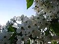 Kwiat czereśni - panoramio.jpg