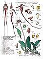 LR007 72dpi Bulbophyllum gracillimum.jpg