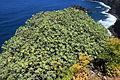 La Palma - Garafía - Vía Puerto de Garafía + Euphorbia balsamifera 01 ies.jpg