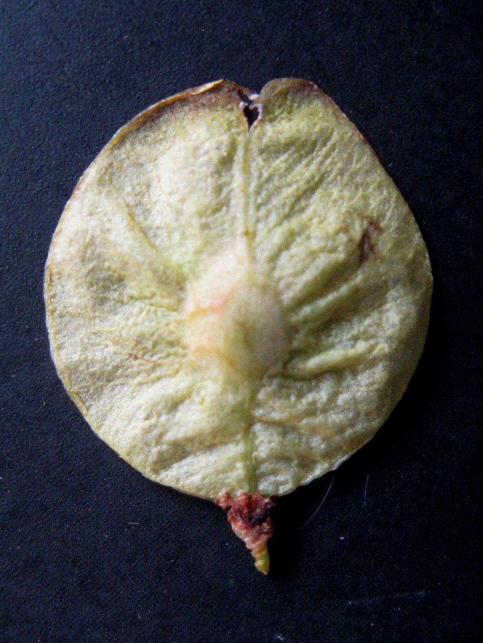Laciniata samara
