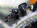 Lady Bug Portrait (2738404376).jpg