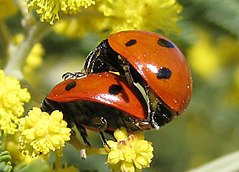 Ladybird-Coccinellidae-mating