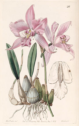 Laelia furfuracea - Edwards vol 25 (NS 2) pl 26 (1839).jpg