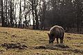 Lainzer Tiergarten Wildschwein Baderwiese 1.jpg