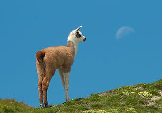 Cria - Llama cria