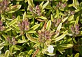 Lamiaceae (44781596625).jpg