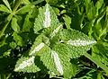 Lamium maculatum leaves J1.jpg