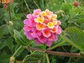 Lantana camara (Flower).jpg