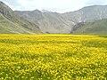 Lar National Park دشت لار، گل زرد آبشار سفیداب، ارتفاعات البرز، کوههای خرسنگ پارک ملی لار - panoramio.jpg