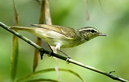 Large-billed Leaf Warbler (Phylloscopus magnirostris).jpg