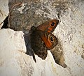 Large Wall Brown. Lasiommata maera (44773465154).jpg