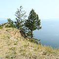 Larix czekanowskii Khoboy Cape Olkhon 1.jpg