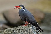 Larosterna inca (Inca Tern - Inkaseeschwalbe) Weltvogelpark Walsrode 2012-015
