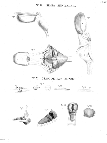 File:Larynx-Humboldt-Zoologie-T04p072.png - Wikimedia Commons