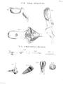 Larynx-Humboldt-Zoologie-T04p072.png