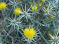 Las Trampas Regional Wilderness -Yellow Star Thistle - panoramio.jpg
