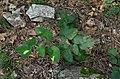 Laserpitium latifolium (8252456100).jpg