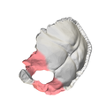 Lateral parts of occipital bone02.png