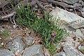 Lathyrus sylvestris kz3.jpg