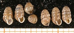 Genabelte Puppenschnecke (Lauria cylindracea)