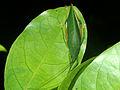 Leaf-mimick Katydid (Tettigoniidae) (8440176863).jpg