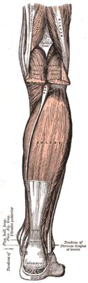 Leg flexor spf.png