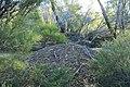 Leipoa ocellata (32576370571).jpg