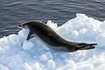 Lemiare Channel Leopard Seal (47337063781).jpg