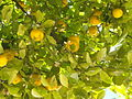 Lemon tree (3723384937).jpg