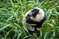 Lemur (36499881633).jpg