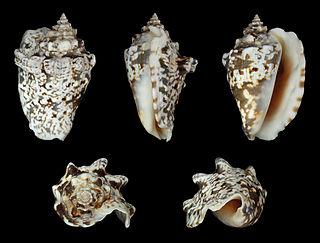 <i>Lentigo lentiginosus</i> Species of gastropod