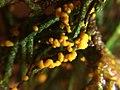 Leocarpus fragilis 30475678.jpg