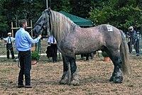 Leonardo 11, Poitevin stallion.jpg