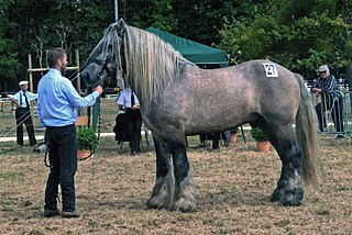 A breed of draft horse from the Poitou area of France
