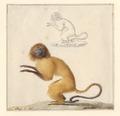 Leontopithecus rosalia - 1788-1863 - Print - Iconographia Zoologica - Special Collections University of Amsterdam - UBA01 IZA1000464.tif