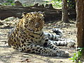 Leopardo dell'Amur (Panthera pardus orientalis).JPG