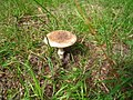 Lepiota aspera - geo.hlipp.de - 14117.jpg