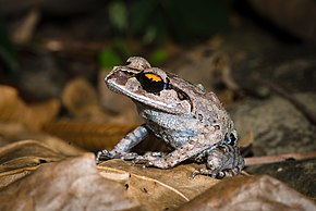 Description de l'image Leptobrachium smithi - Smith's litter frog (23903607194).jpg.