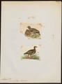 Lerwa nivicola - 1700-1880 - Print - Iconographia Zoologica - Special Collections University of Amsterdam - UBA01 IZ17100279.tif
