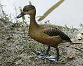 Lesser Whistling-duck (Dendrocygna javanica) - Flickr - Lip Kee (1).jpg