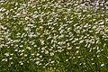 Leucanthemum vulgare - Stadtgarten Karlsruhe 01.jpg