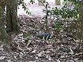 Leucosarcia melanoleuca (41778576655).jpg