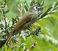 Lewin's Honeyeater. Meliphaga lewinii - Flickr - gailhampshire.jpg