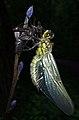 Libelle mit Puppe von Elisa Föhring.jpg