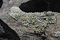 Lichen (20576874721).jpg