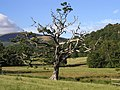 Lightning Tree - geograph.org.uk - 218114.jpg