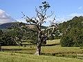 Lightning Tree - geograph.org.uk - 218114.jpg