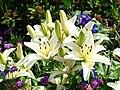 Lilium (ivory cultivar) 01.JPG