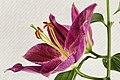 Lily - Lilium (48353965517).jpg