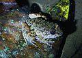 Limnonectes kuhlii? Kuhl's Creek frog (8194222760).jpg